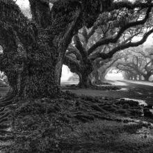 Oak Alley-341 BW