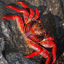 Sally-Lightfoot-Crab