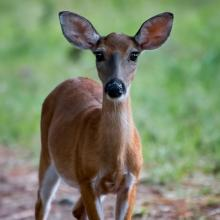 Young-Deer-St-Catherines-221